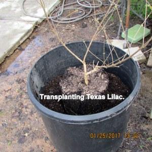 Transplanted Texas Lilac