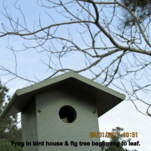 Frog in bird house and fig free beginning to leaf