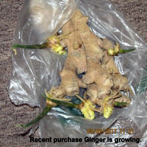 Recent purchase Ginger is growing